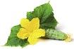 Cucumber_plant_carp.jpg