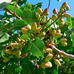 pistacho-semillas.jpg
